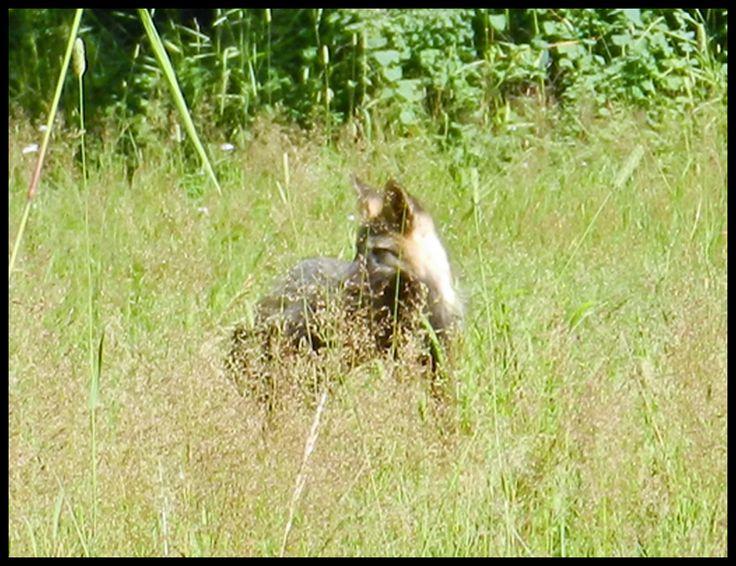 Resident Fox family at Quesnel Forks..
