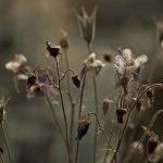Dead flowers.
