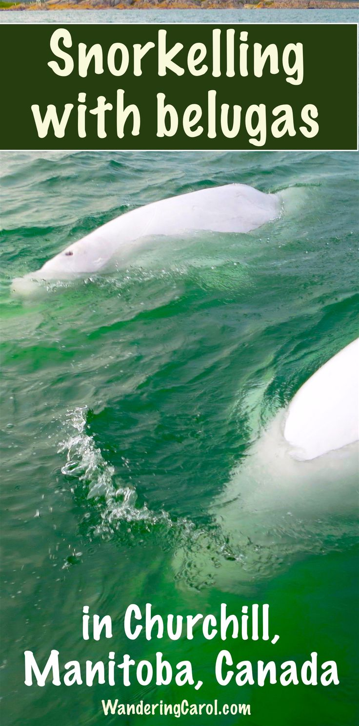 If you love adventure travel you'll love snorkelling, kayaking and getting up close to the wild beluga whales in Churchill, Manitoba - Canada's adventure destination.