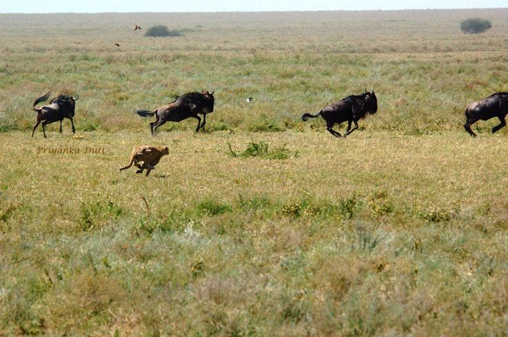Our guest Rajyashree witnessed nature's survival of the fittest in #Tanzania. Read about the cheetah hunt here!