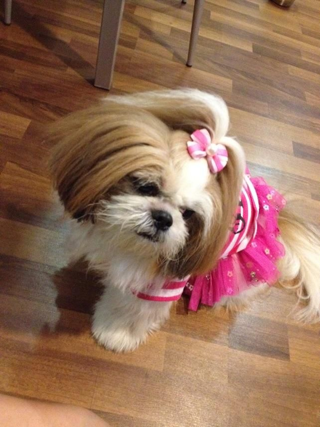 shih tzu topknot 105 best images about shih tzu hair cuts on pinterest 6747