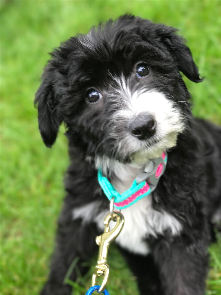 Meet Moxie, our new Sheepadoodle. Actually, she's an F1b. Her dad is purebred Old English Sheepdog, mom is an F1 Goldendoodle.