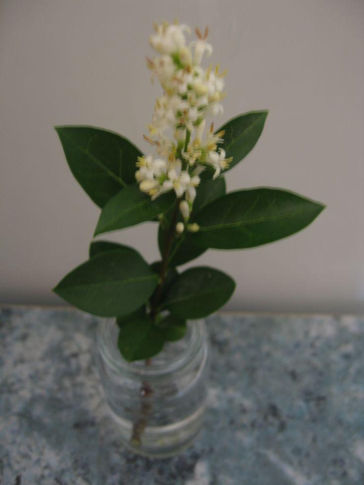 Májusfa virága