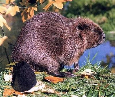 Kid Facts About Canadian Beavers