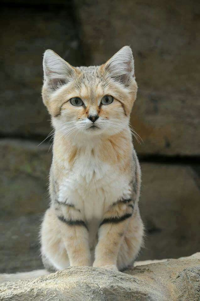Wonderful Sand cat