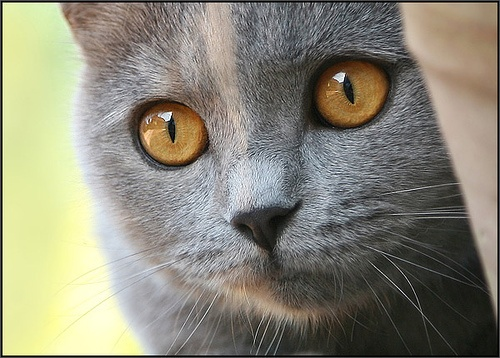 """gray and cream — Carries half the genetic code of the darker tortoiseshell, thereby being """"half"""" the color. Also comes in a calico variety. (Calicos have some white on their bodies.)"""