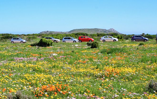 Billions of blossoms in Postberg in the West Coast National Park.