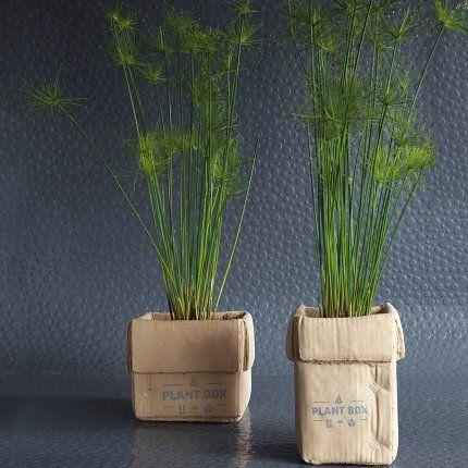 Papyrus miniature dans des pots en béton effet trompe-l'oeil