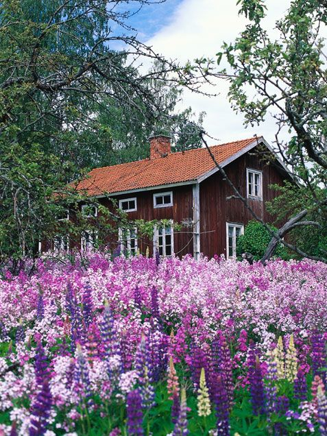 Scandinavia in summer ♡ Lupinas ♡