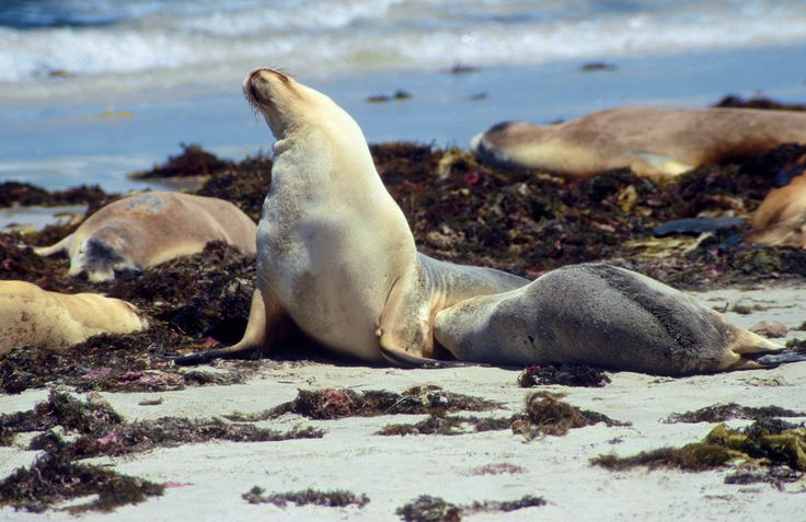 Photographer Pernille Westh | Australian Sea Lions. Mum and pup at the beach · Get my 7 FREE basic photography tips - you need to know! http://pw5383.wixsite.com/free-photo-tips