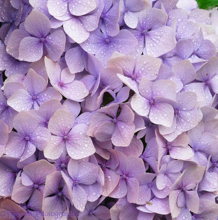 pics of flowers | Lilac hydrangea flowers photo - WP03256