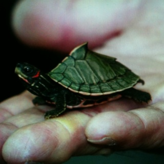 A roofed turtle, native to India