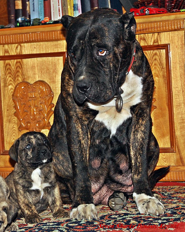 dogo canario for sale