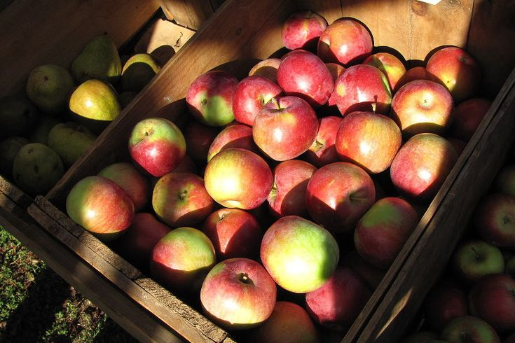 Apple Picking on Long Island 2015: Where to Pick Your Apples
