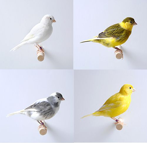 canaries oiseaux | Home > Pet Information > Bird Species > Canary