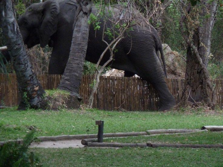 Wild elephant in camp. Botswana101.com #WildElephantInCamp