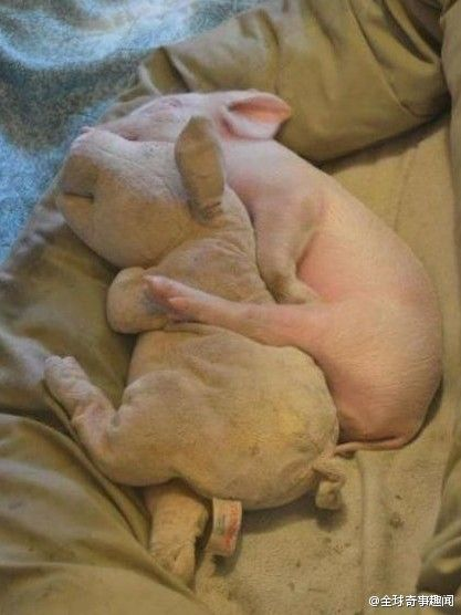 Little pig needs his stuffed pig to sleep with. Reminds me of a child and their baby doll go sleep with. How sweet. Piglets are so smart. I feel guilty if I eat bacon.