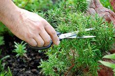Privoniavaním k tejto bylinke si môžete zlepšiť pamäť až o 75%
