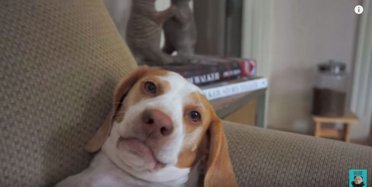 Maybe you know Maymo the Beagle right? The famous beagle pup online with his undying cuteness and charm! Watch andwitnessMaymo's reaction when a giant zombie handsurprises himfrom behind. This pup is so adorable! He is startled at first, then stares at the giant zombie's hand for a while, and then he attacks the giant handin …