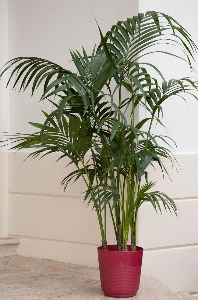 Palm Tree Houseplant Care on palm tree types and care, dwarf palm tree care, palm tree entertainment, fan palm plant care, palm tree desk lamp, potted palm tree care, phoenix palm care, indoor palm trees care, fittonia argyroneura care, palm tree bonsai care, palm tree diseases and cures, areca palm tree care, palm tree care guide, kentia palm tree care, palm tree sunlight, palm tree trunk care, queen palm plant care, palm tree bamboo care, palm tree norfolk pine, palm tree plants,