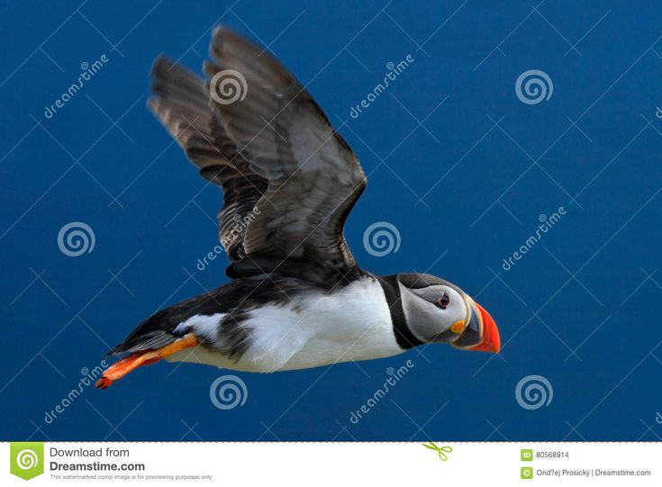 Flying Puffin. Atlantic Puffin, Fratercula Artica, Artic Black And White Cute Bird With Red Bill Sitting On The Rock, Nature Habit Stock Photo - Image of green, great: 80568914