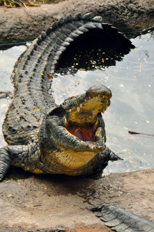 """""""The Nile crocodile (Crocodylus niloticus) – the only species found in southern Africa – is a formidable predator. Large adults may exceed 5m in length, weigh over 1,000kg and live over 100 years, although today such monsters are rare. Whatever its size and age, a crocodile is unmistakable, with its powerful serrated tail, horny plated skin and up to a hundred peg-like teeth crammed into a long, sinister smile."""" www.bradtguides.com"""