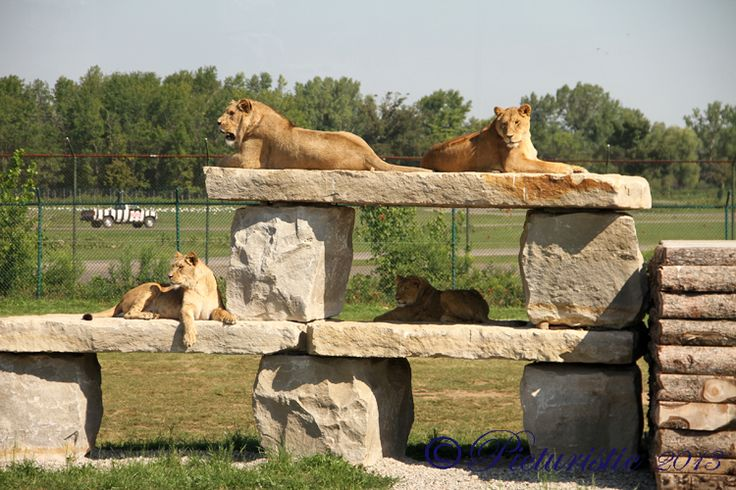 Check out our lions!