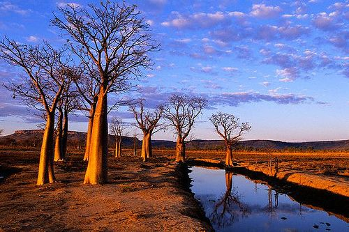 Boab Trees on Kimberley Plateau Kimberley, Australia