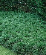 Mondo Grass (Ophiopogon japonicus) - Monrovia - Mondo Grass (Ophiopogon japonicus)