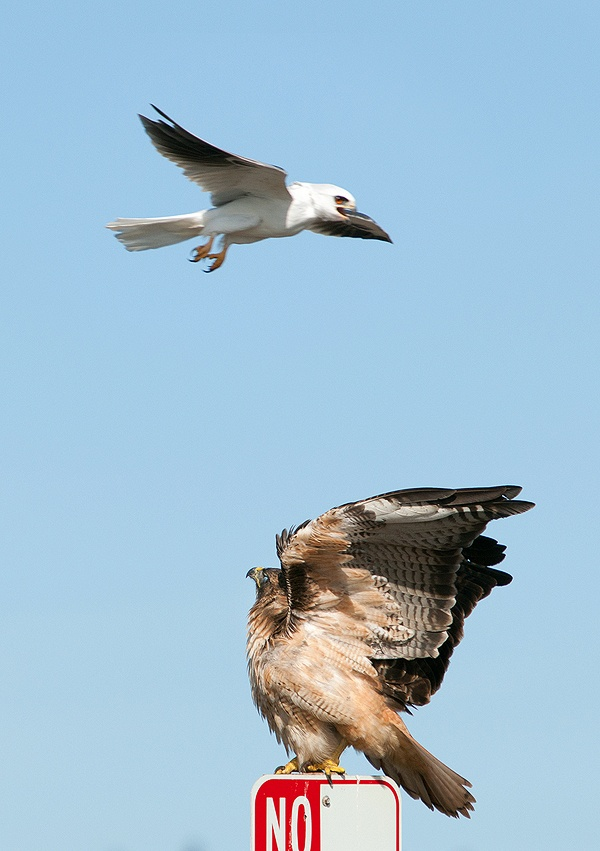 Red-tailed Hawk & White-tailed Kite (Birds of Prey, Hawks, Kites)