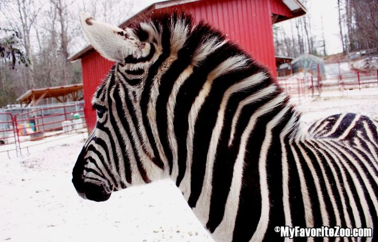 Winter Wonderland Tours at North Georgia Zoo & Farm. Saturdays! Click here for more info
