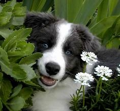 Blue Border Collie puppy