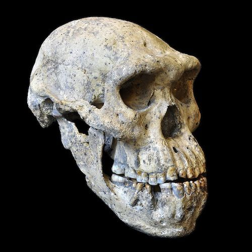 "Skull ""Rewrites"" Story of Human Evolution -- Again - Evolution ..."