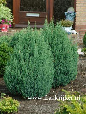 Juniperus chinensis 'Stricta'. De hoogte na 10 jaar is 200 cm.