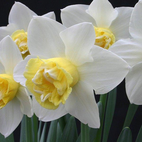 Die Narzisse 'Popeye' ist eine Neuzüchtung mit einer wunderschön gefüllten Blüte. Pflanzzeit ist im Herbst - online bestellbar bei www.fluwel.de