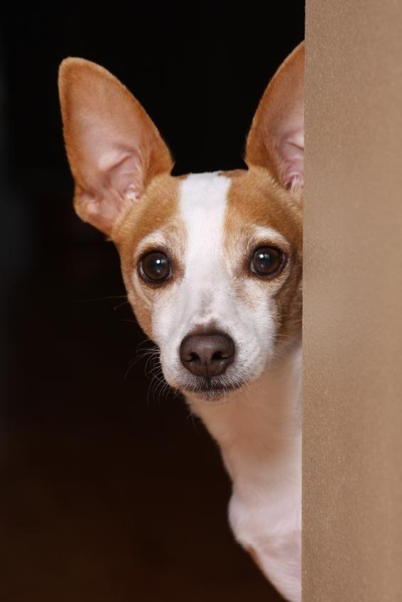 Rat Terrier Dog Pictures [Slideshow]