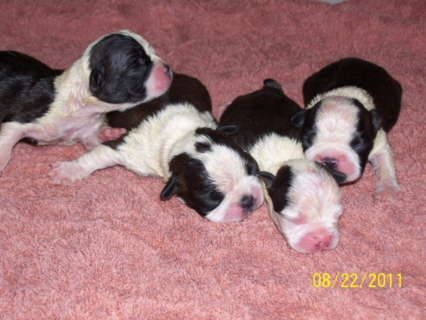 AKC Boston Terrier Puppies for Sale - Just look at that FACE! - - Love these shirts for Boston Parents here: http:∕∕riibit.com∕4XR7VU - - or follow us on Facebook here: https:∕∕www.facebook.com∕BostonTerrierWorldOfficial∕