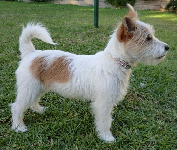 maltese jack russell terrier mix jack russell maltese mix puppies for sale zoe fans blog 9616
