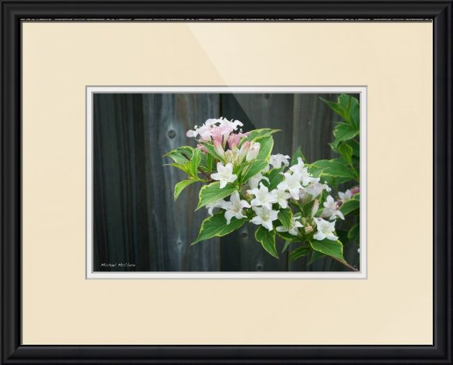 Spring Weigela by Michael McClure
