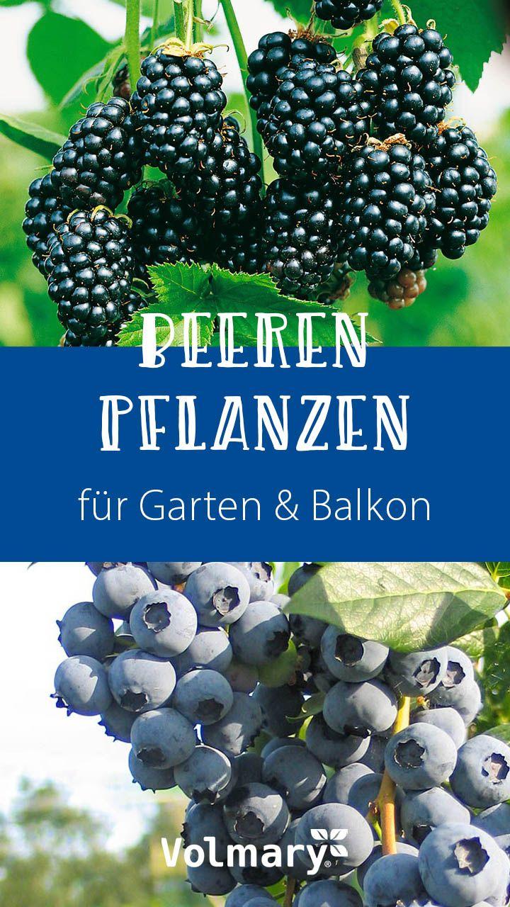 Beeren Pflanzen Beerenstraucher Fur Den Garten Balkon Heidelbeeren Pflanzen Blaubeeren Pflanzen Himbeeren Pflanzen