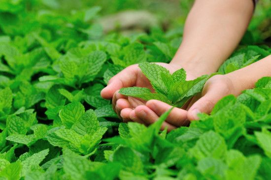 7 Fantastic Health Benefits of Peppermint Tea: Are You Drinking Enough?