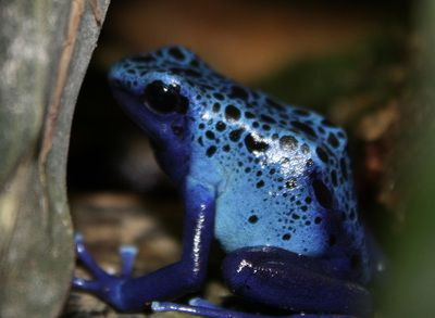 Azureus Dart Frogs for Sale!!!!  Info: Azureus dart frogs are a great beginner frog.  They are bold and easy to breed.  Males have a quiet call and are best kept in pairs as adults.  Their bright blue coloration makes them a sought after frog.  Temperature:  70*-77* Humidity: 85% and Higher Size: 2 inches Natural Habitat and Range:  Rainforest on the border of Brazil and Surinam