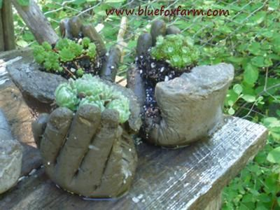 Grouping of hypertufa hands, filled with Sempervivum species: Well, these are a funny little project - hypertufa hands made from (what else?) surgical gloves and your favorite hypertufa or soil cement mix.    I tried