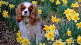 Fotografía de una hembra de Cavalier King Charles Spaniel entre las flores del campo. Razas perros pequeños (Photograph of a female Cavalier King Charles Spaniel between flowers of the field. Small dog breeds).