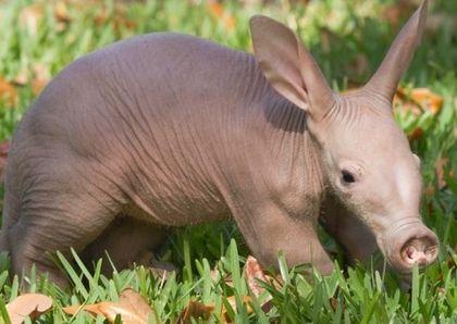 땅돼지... 멸종됐던 원시동물의 후손이라고 알려져 전세계적인 주목을 받고 있는 동물이 있는데요. 바로 야행성동물인...땅돼지