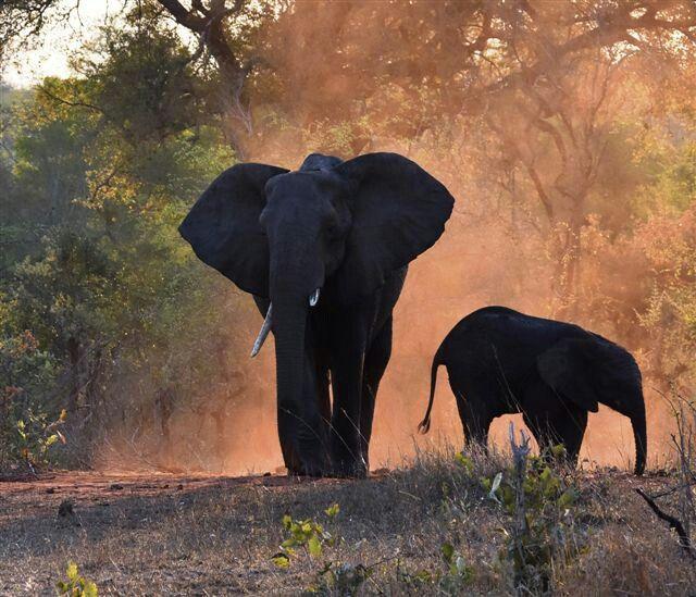 Elephant,  Krüger Nationalpark, South Africa