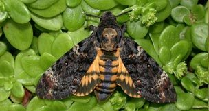 Butterfly Conservation - Meet The Death's-head Hawk-moth
