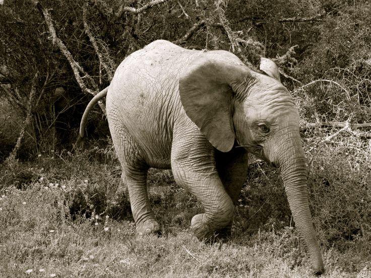 Baby Elephant on Amakhala Game Reserve