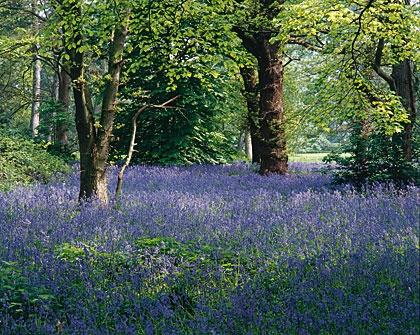 Bluebells In The Royal Botanical Gardens Kew