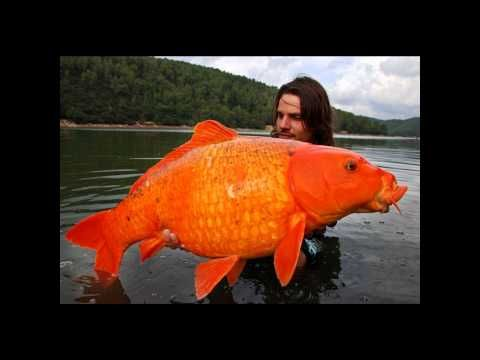 HFO - World Record Koi gold fish - YouTube | KOI ...